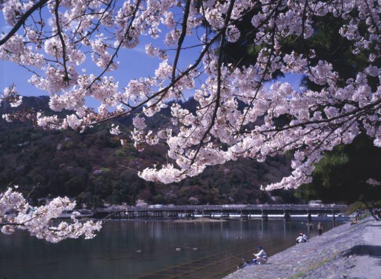 Au rythme des cerisiers en fleurs